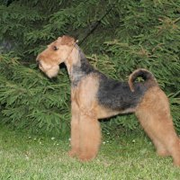 SHER IZOLA DELLA FELICITA - SHER IZOLA DELLA FELICITAInternational Champion, Junior Champion of Russia, National Airedale terrier Club; Champion of Russia, Lithuania, Latvia, Belarus, Poland, 2*National Airedale terrier Club, 4*CACIB, BIG, HD-A (тесты сделаны в Литве).Рожд. 14.03.2014(o. Int. Ch. Stargus Galiano м. Int. Ch. Sher White Rose) Владелец: Широкова Александра (г. Москва)