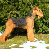SHER FLORA - SHER FLORAJunior Champion of Russia, Junior Champion of National Airedale terrier Club, Champion of National Airedale Terrier Club, Champion of Russia, Champion of RKF Рожд. 10.05.2015(о. Int.Ch. Stargus Galiano & м. Int.Ch. Sher Iskrennaya Nezhnost)Владелец: Струкова Галина (г. Москва, Зеленоград)