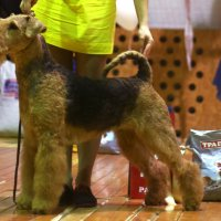 SHER GEMMI GRACE - SHER GEMMI GRACEInternational Champion, Junior Champion of Russia, Belarus, National Airedale Terrier Club, Junior Grand Champion of Belarus, Champion of Russia, Estonia, RKF, National Airedale Terrier Club, Grand Champion of Russia, 4xCACIB, ОКД-1, 4-BIG.Рожд. 17.12.2013(o.  Int. Ch. Stargus Galiano м. Sher Uestmurs Lady)Владелец: Бардукова Марина (г. Тверь)