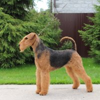 SHER UVITA RUS STAR - SHER UVITA RUS STARVice-Junior European Champion-2019, Junior Champion of Russia, 4*National Airedale Terrier Club of Russia; Champion of Russia, Belorussia, Lithuania, 2*National Airedale Terrier Club of Russia, 2*RKF, 3*CACIB, 2*RCACIB, 4*BIG, 2*BIG-3, 2*BIS, 2*RBIS.Рожд. 08.01.2018(о. Int. Ch. Windancer Newton for Sher for Sher & м. Int. Ch. Sher Kori Rus Star)Владелец: Михеева Надежда (г. Москва)