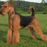 SHER WHITE ROSE - SHER WHITE ROSE VDH-EUROPAJUGENDSIEGER, International Champion,Junior Champion of Russia, Estonia,Latvia, Litva, Germany, 2*National Airedale Club, Terrier-Union; Champion of Russia, Estonia, Latvia, Litva, Poland, Ukraine, Moldova, Cypr, Czech, 3*National Airedale Club, Terrier-Union Рожд. 18.04.2010 (о. Ch.UKG, MID&EAST EU Ginger Robertredford & м. Интерчемпион Шэр Надин`с Нью Дел) Владелец: Надежда Михеева (г. Москва)
