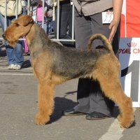 SHER DARSI BEAUTIFUL - SHER DARSI BEAUTIFULInternaional Champion, Junior Champion of Russia, Champion of Russia, Lithuania, Hungary, Estonia, Poland, Germany, Slovenia, RKF, 5*National Airedale terrier Club, 10*CACIB, BIG-1,BIG-4, HD-A, ED-0.Рожд. 20.12.2013(o. Int. Ch. Sher Indiana Jones м. Int. Ch. Sher Olly Only Best)Владелец: Михеева Надежда (г. Москва)