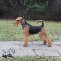 SHER KHAZARIA - SHER KHAZARIAJunior Champion of Russia, Junior Champion of National Airedale Terrier Club; Champion of Russia, Belorussia, Lituania, 2*RKF, National Airedale Terrier Club, 4*CACIB, BIG, RBIG, HD-A, ED-0 (тесты сделаны в Литве).Рожд. 02.06.2017(о. Int. Ch. Flaire Matterhorn for Sher & м. Int. Ch. Sher Tayga)Владелец: Красилов Виталий (г. Москва)