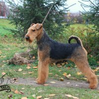 SHER TEZARIUS NATIO - SHER TEZARIUS NATIOInternational Champion, Junior Champion of Russia, Belorussia, the National Airedale Terrier Club of Russia; Champion of Russia, Belorussia, Lithuania, the National Airedale Terrier Club of Russia, 2*RKF,  4*CACIB, BIG, RBIG; HD-A, ED-0Рожд. 12.02.2015(о. Int. Ch. Flaire Matterhorn for Sher & м. Int. Ch. Sher Kori Rus Star)Владелец: Романова Анна (МО, г. Щелково)