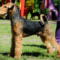SHER SUNNY BUNNY - SHER SUNNY BUNNYJunior Champion of Russia, Belarus, 3*National Airedale terrier Club; Champion of Russia, 3*National Airedale terrier Club, RKF, CACIB. Рожд. 26.04.2017(o. Flaire Matterhorn for Sher м. Sher Gemmi Grace) Владелец: Бардукова Н.&М. (г. Тверь)