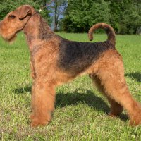 SHER WILD THORN - SHER WILD THORNInternational Champion, Junior Champion of The World-2011, Vice-European Junior Champion-2011, Amsterdam Winner-2013, Junior Champion of Russia, Estonia, Latvia, Litva, Germany, 3*National Airedale terrier Club, 2*Terrier-Union; Champion of Russia, Estonia, Latvia, Litva, Poland, Germany, Switzerland, Ukraine, Moldova, Cypr, 3*RKF, 7*National Airedale terrier Club, HD-A.Рожд. 18.04.2010 (о. GINGER ROBERT REDFORD, м. SHER NADIN'S NEW DEL) Владелец: Михеева Надежда (г. Москва)
