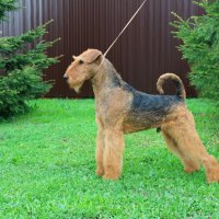 WINDANCER NEWTON FOR SHER - WINDANCER NEWTON FOR SHERInternational Champion, Junior European Champion-2017, Amsterdam Winner-2017, Junior Champion of Russia, Poland, Ukraine, 4*National Airedale Terrier Club; Champion of Russia, Latvia, Estonia, Lithuania, Belarus, Poland, 3*National Airedale Terrier Club, 2*RKF, 5*CACIB, 2*BISJ, 2*BISJ-3, 3*BIG, BIG-3, BIS-3, RBIS, HD-A, ED-0.Рожд. 01.06.2016(о. Greenfield`s Celtic Legend м. Wildside Windancer)Владелец: Михеева Надежда (г. Москва)
